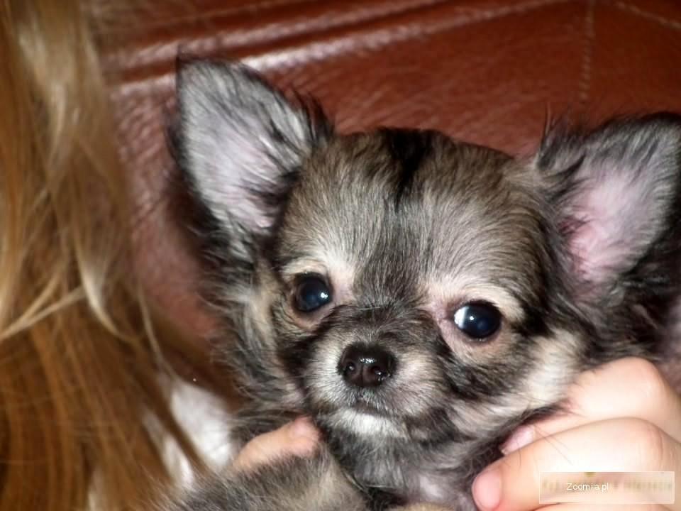 Sprzedam Chihuahua po championach ciułała