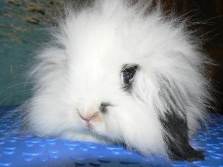 króliki baranki miniaturowe teddy