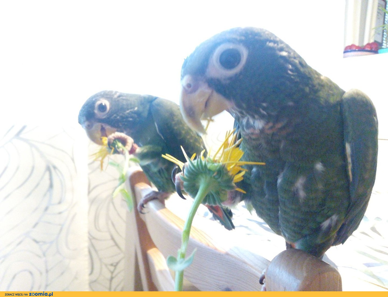 sprzedam papugi piony / piona miedzianoskrzydła (pionus parrot)