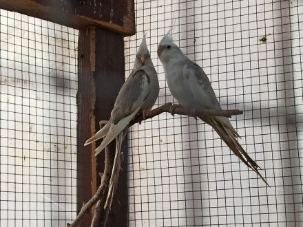 Papugi nimfy samce i samice