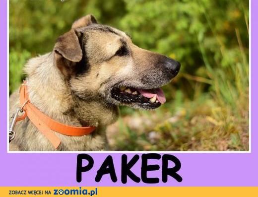 18 kg,krótkie łapki,masywna budowa,łagodny,towarzyski pies PAKER.Adopcja.,  mazowieckie Warszawa