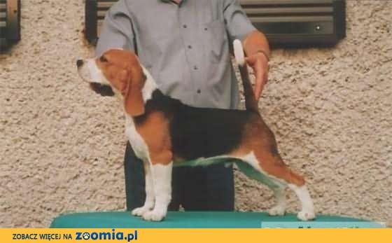 Beagle- REPRODUKTOR FCI - Champion z Danii - krycie