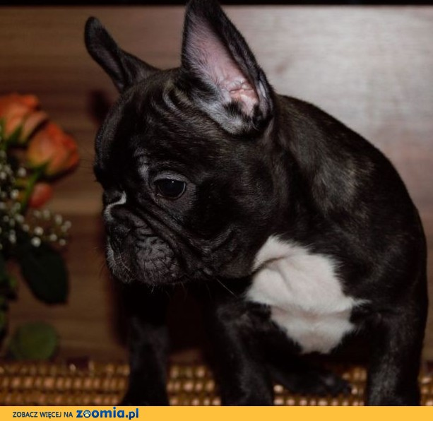 Buldog francuski FCI ZKwP french bulldog