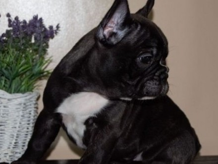'Buldog francuski FCI ZKwP french bulldog