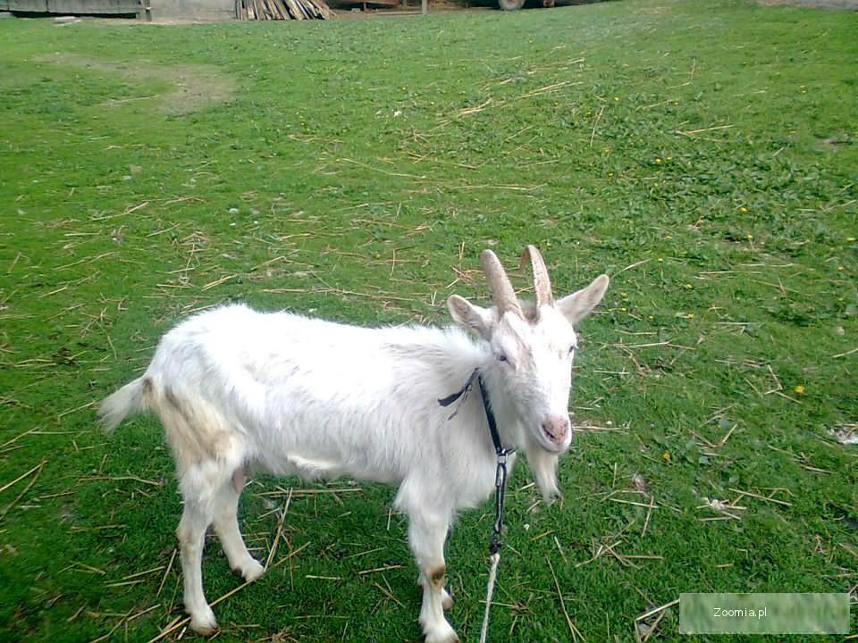 Sprzedam koze