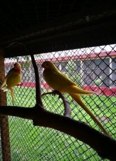 Papugi Księżniczki walii żółte