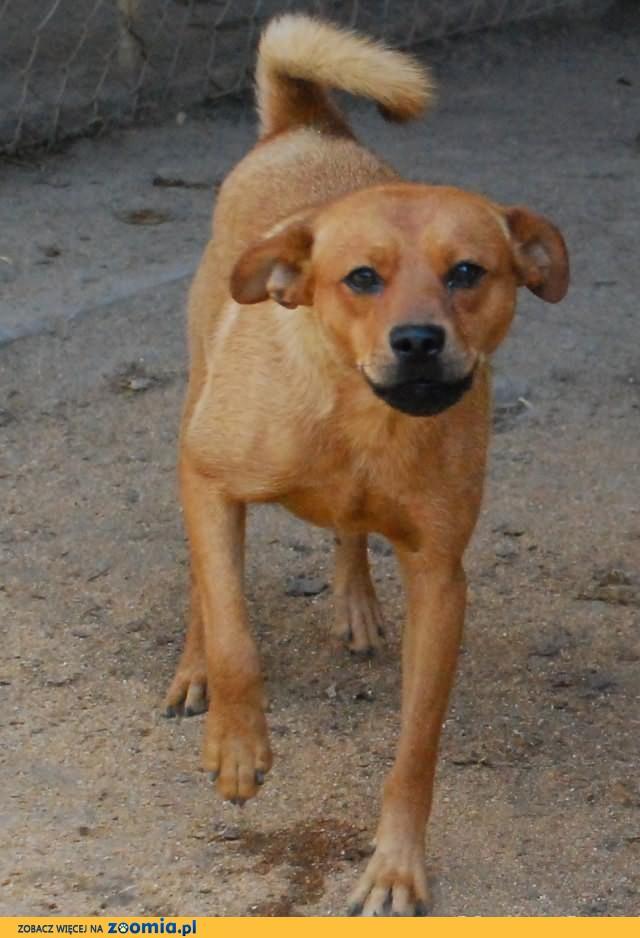 Chomik(imię) - wesoły, nieduży, młody pies, adopcja