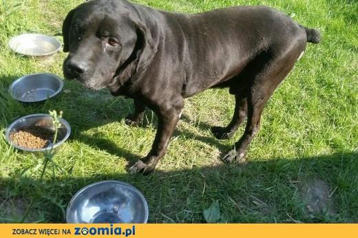 Znaleziono dużego, czarnego psa - Jastrzębie, gm. ,  mazowieckie Piaseczno