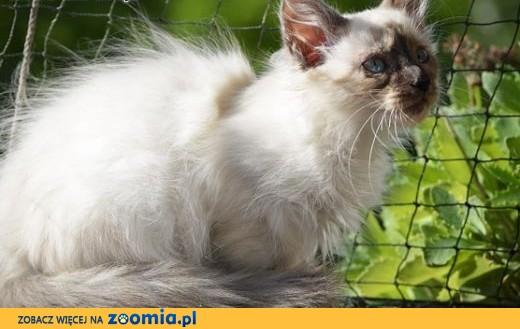 Nowa Era*PL Rodowodowa kotka Neva Masquerade,  zachodniopomorskie Szczecin