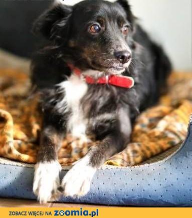 BLACKY - delikatny i wrażliwy, kochany psiak do adopcji,  mazowieckie Warszawa