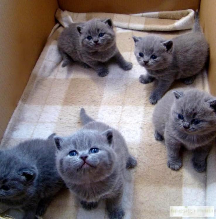 Wszystkie nowe Kot brytyjski - ogłoszenia z hodowli. Koty brytyjskie / Zoomia.pl pl 3 GJ91