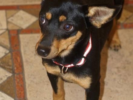 Malutka Fiona, 8 miesięczna sunia, spokojna grzeczna NAKOLANKOWA