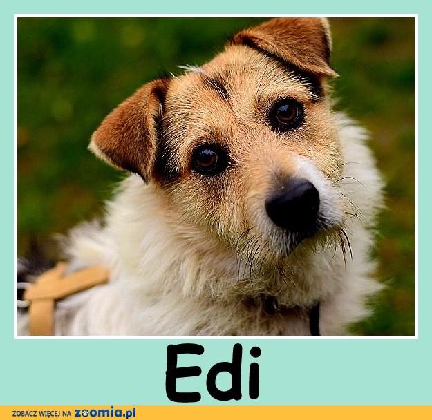 Przyjacielski, wesoły ,w typie teriera,łagodny psiak EDI_Adopcja
