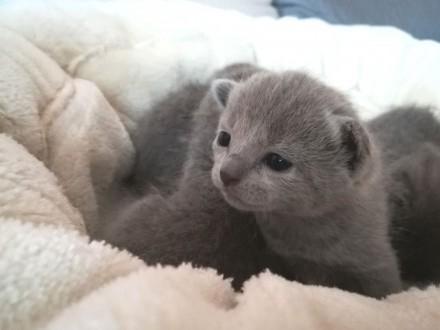 Kocięta Rosyjskie Niebieskie FPL