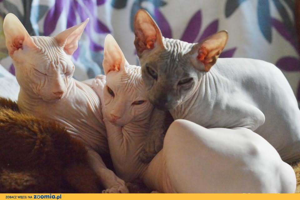 Kocięta rodowodowe Sfińks Doński