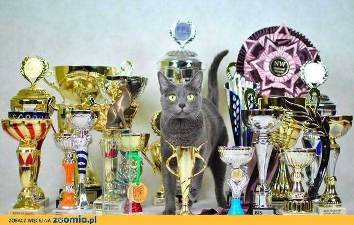 ostatnie kocięta KORAT, kot o pięciu sercach              Rodowód
