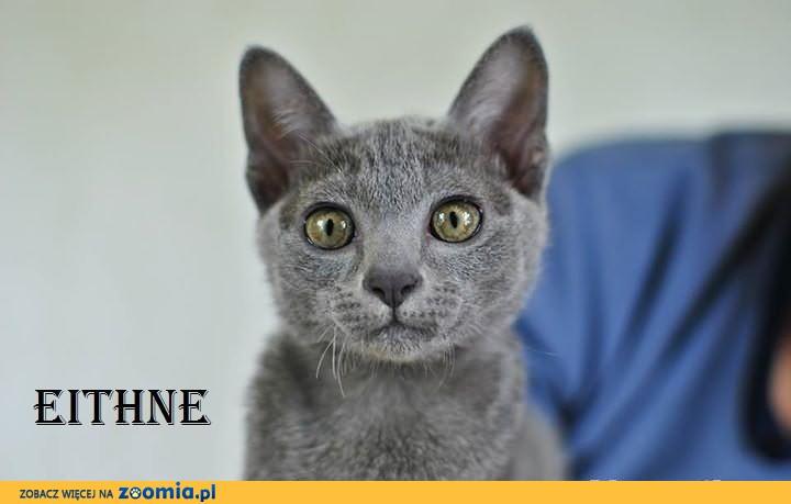 Ostatnie Kocięta Korat Kot O Pięciu Sercach Rodowód Pozostałe