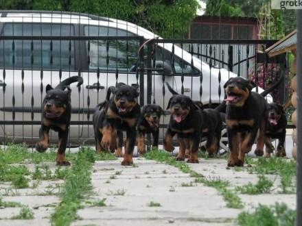 Rottweiler  szczeniaki z rod ZKwP (FCI) po chionach-importach