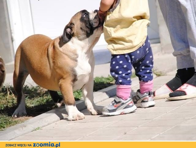 ENGLISH BULDOG puppies,  Buldog cała Polska