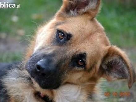 HUGO - młodziutki psiak w typie owczarka szuka swojej Rodziny