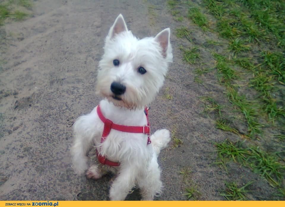 West Highland White terrier Krycie