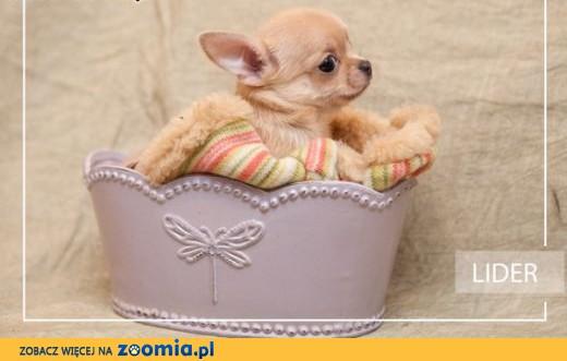 Chihuahua o imieniu Lider,  rodowód ZKwP/FCI, urocze szczeniaczki,  łódzkie Łódź