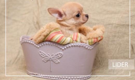 Chihuahua o imieniu Lider   rodowód ZKwP/FCI  urocze szczeniaczki   łódzkie Łódź