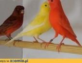 Kanarki czerwone, żółte, kasztany, agaty,  pomorskie Nowy Dwór Gdański