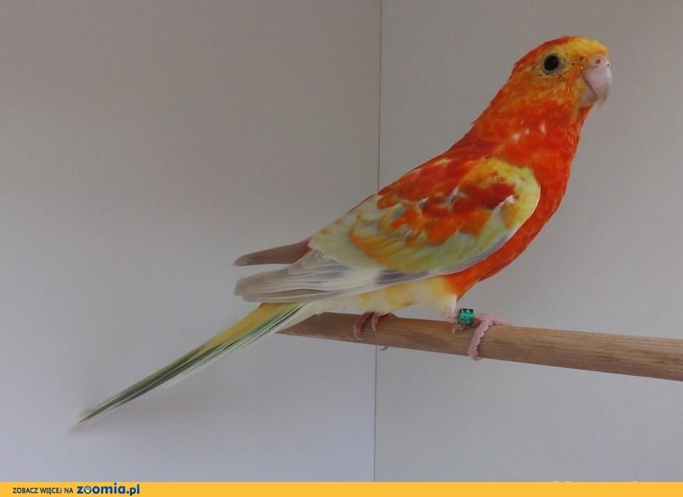 Świergotki oranżowe