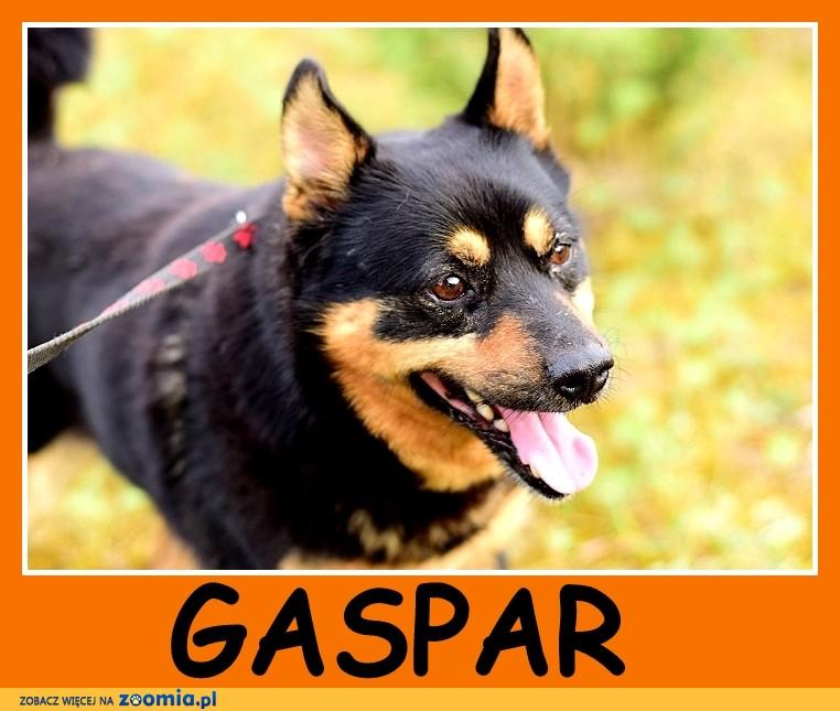 Średni 15 kg, 3 lata, bardzo przyjazny,łagodny piesek GASPAR_Adopcja_