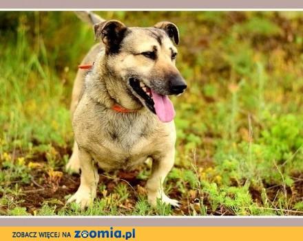 18 kg  krótkie łapki  masywna budowa łagodny spokojny pies PAKER_Adopcja_