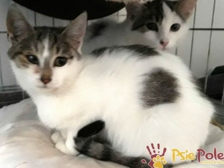 EMILIANKA-mała  piękna  bura koteczka w łatki szuka domu-adopcja