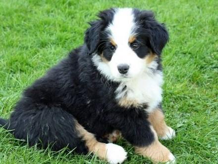 Sprzedam piękne szczeniaki rasy Berneński pies pasterski
