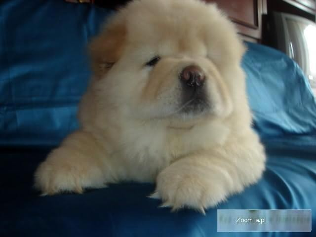 Male misie chow chow