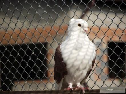 Sprzedam gołębie berlinek