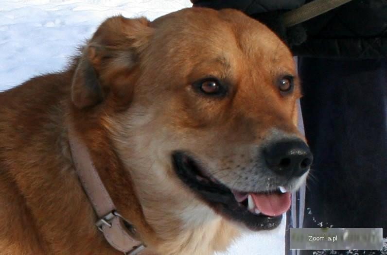 ZAGINĄŁ pies w typie labradora Prymus