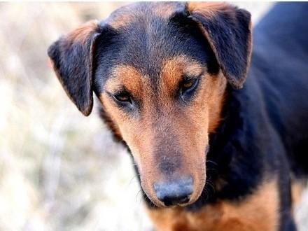 1 5 roczny  w typie teriera energiczny towarzyski pies RAMON_Adopcja