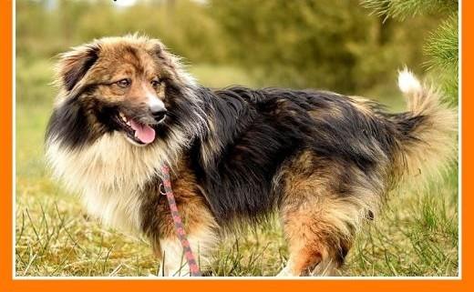 Średni 15 kg długa sierść krótkie łapki  przyjacielski pies MUSZUAdopcja   małopolskie Kraków