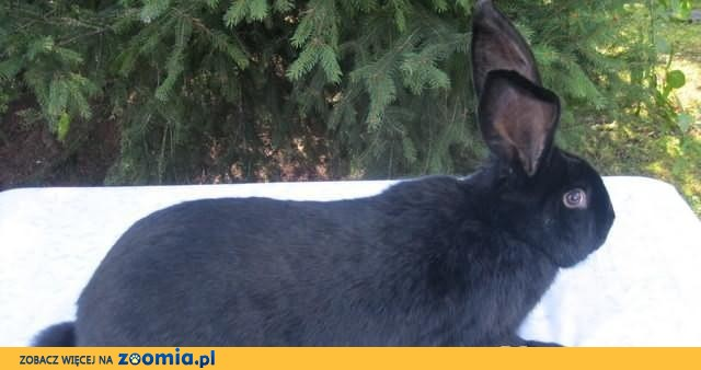 Samiec - Olbrzym Srokacz (RASOWY)