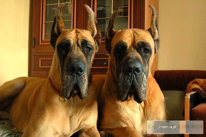 Bardzo dobra Pies Dog niemiecki - ogłoszenia z hodowli. Psy Dogi / Zoomia.pl pl 1 RL22