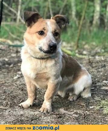 ŁATEK  - kochany, wesoły, roczny psiak do adopcji,  mazowieckie Warszawa