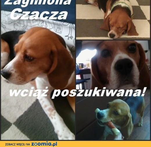 Wciąż poszukiwana sunia beagle CZACZA! ,  łódzkie Łódź