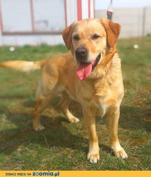Goldi - cudowny biszkoptowy labrador szuka domu