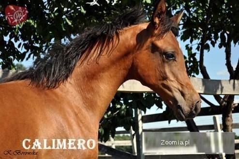 Konie Arabskie Na Sprzedaż