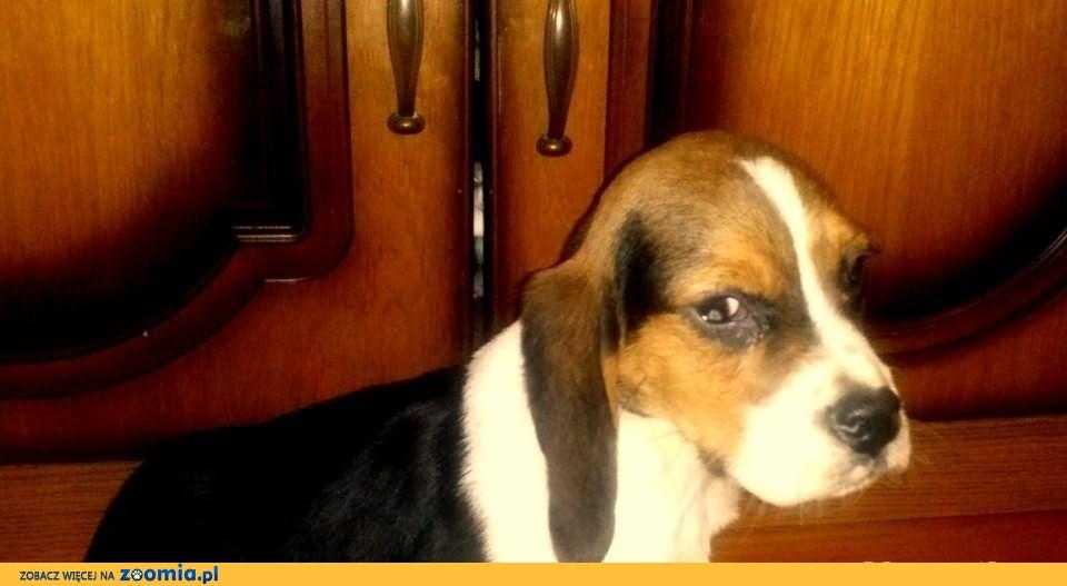 Piesek Beagle Tricolor śliczny szczeniaczek