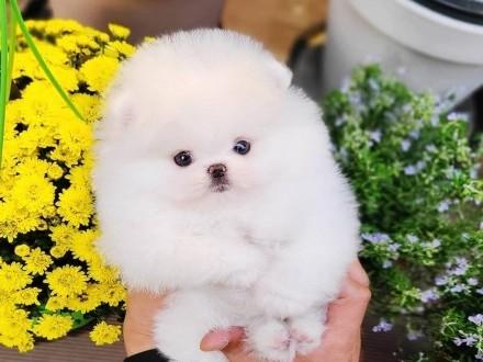 Super urocze Pomeranian AKC