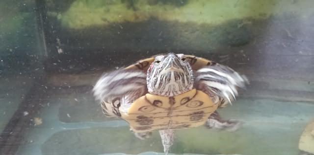 Żółw wodno-lądowy oddam