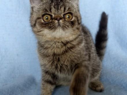 Żbik- przesympatyczny i śliczny kotek egzotyczny  FPL
