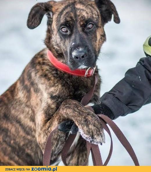 Wybitny Ogłoszenia: oddam psa, oddam szczeniaka Cane Corso pl 1 IA48