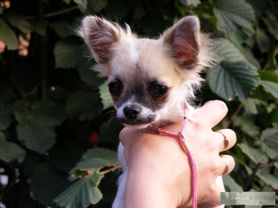 Chihuahua długowłosa rodowód FCI